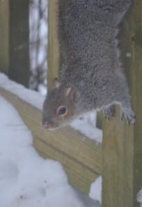 snow squirrel 7