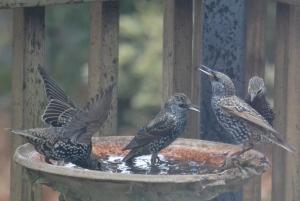 starlings (1280x858)