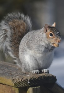 peanut squirrel