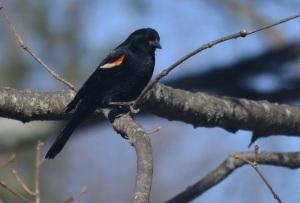 red-winged blackbird 9