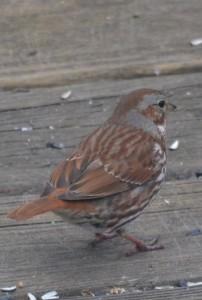 fox sparrow 7