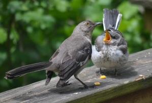 baby mockingbird 11