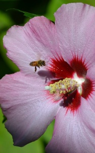 bee on rose of sharon 7