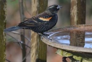 red-winged blackbird imm 1