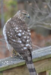 3rd hawk 2