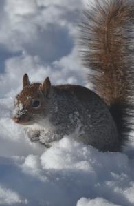 snow squirrel 1a (833x1280)