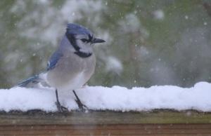 snowy jay 3