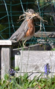 robin w nesting material 20