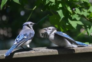 blue jay & juvey (1280x869)
