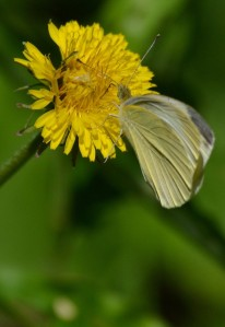 cabbage white on dandelion