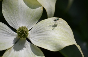 green fly on dogwood 7 (1280x836)