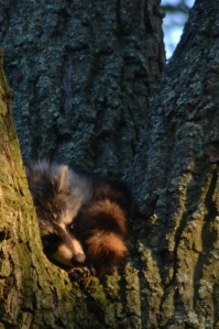 raccoon in tree 18