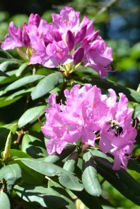 rhododendron & bee 1a