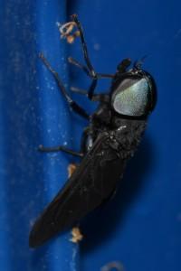 black horsefly 1