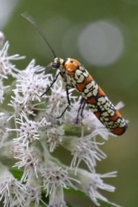 ailanthus-webworm-moth-23