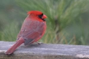 cardinal-1a
